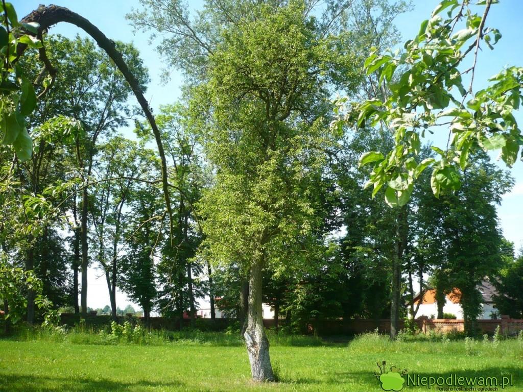 Wszystkie grusze Bera tobardzo stare odmiany. Może je spotkać wdawno założonych sadach, aledostępne są też młode drzewka. Fot.Niepodlewam
