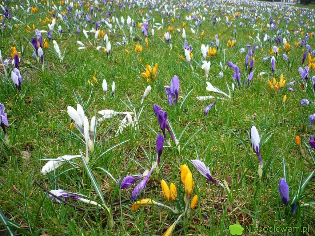 Kwitnący trawnik z krokusami. Fot. Niepodlewam
