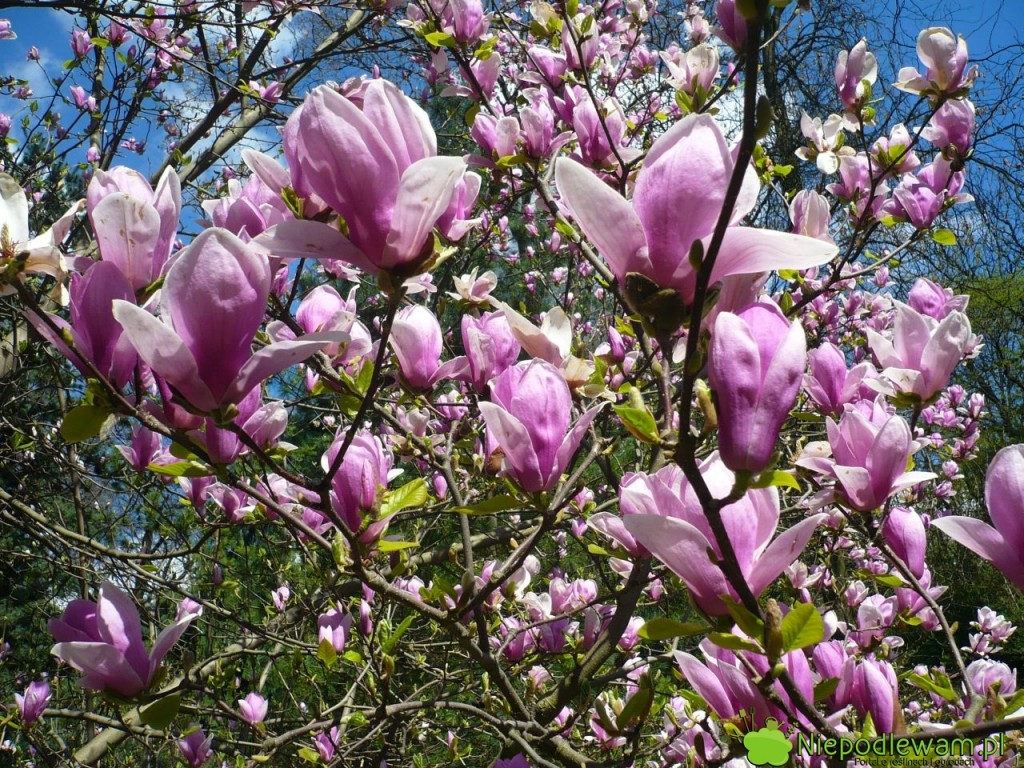 Magnolia Soulange`a Rustica Rubra ma duże, pachnące kwiaty w kolorze różowofioletowym. Fot. Niepodlewam