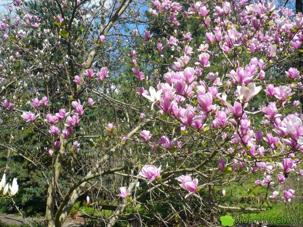 Magnolia Rustica Rubra dorasta do 3-5 metrów. Rośnie wolno. Fot. Niepodlewam
