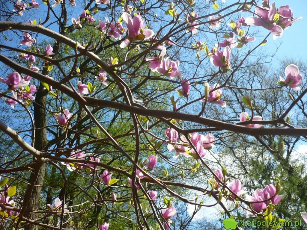 Główne kwitnienie magnolii Soulange`a Rustica Rubra przypada na kwiecień. Fot. Niepodlewam