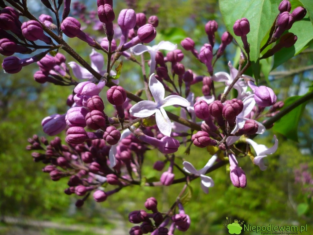 Lilak pospolity Miraeau został wyhodowany w1911 roku. Ma duże, pojedyncze, delikatnie pachnące kwiaty. Fot.Niepodlewam