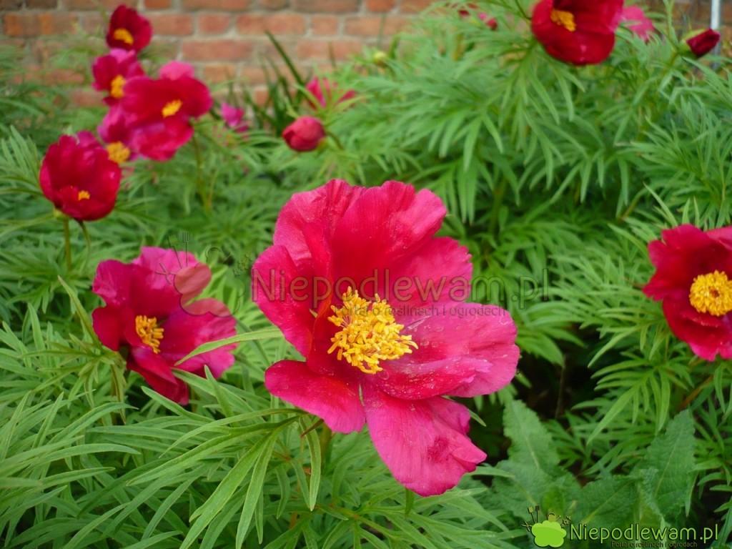 Piwonia delikatna Little Red Gem ma kwiaty podwójne. To jedna z niższych odmian. Fot. Niepodlewam