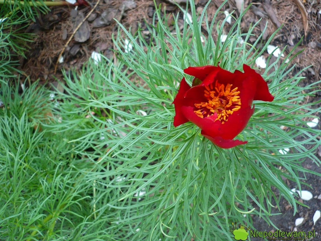 Zarówno kwiaty, jak i pierzaste liście są dekoracją ogrodu. Fot. Niepodlewam