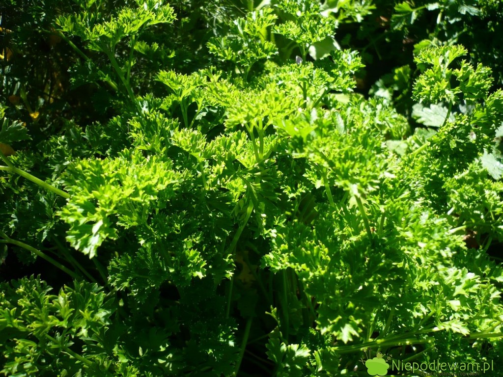 Na kamienistej glebie lepiej uprawiać pietruszkę naciową, czyli dla liści, a nie dla korzeni. Na zdjęciu jest odmiana Triple Curled. Fot. Niepodlewam