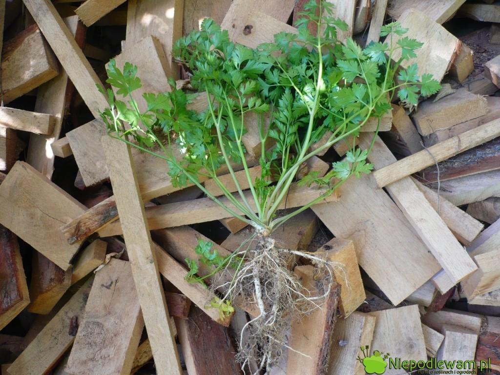Rozwidlone korzenie pietruszki powstają z różnych przyczyn. Czasami są tak zniekształcone, że nie nadają się do jedzeniu. Na zdjęciu jest odmiana Gigante d`Itala. Fot. Niepodlewam