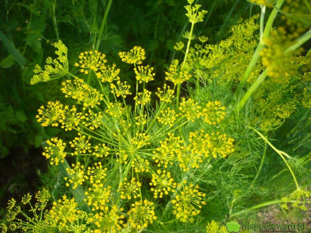 Siew kopru ogrodowego można wykonać wiosną, latem, jesienią i nawet zimą (o ile gleba nie zamarznie). By zawiązał kwiaty, potrzebne np. do kiszenia ogórków, trzeba go siać najlepiej w maju. Fot. Niepodlewam