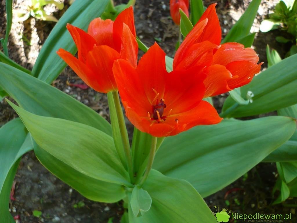 Tulipan dostojny często ma najednej łodydze pokilka kwiatów. Fot.Niepodlewam