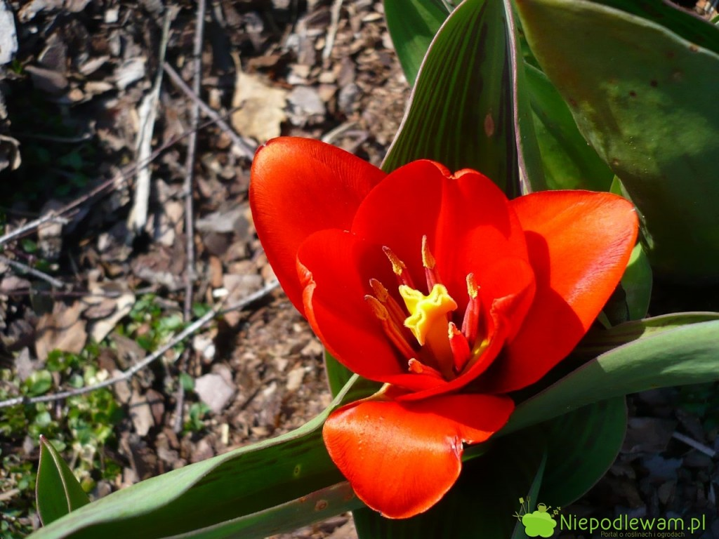 Tulipan Showwinner to jedna z najwcześniej kwitnących odmian. Jego kwiaty są jasnoczerwone. Fot. Niepodlewam
