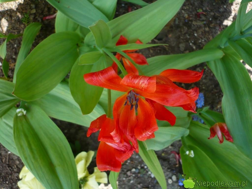 Tulipany dostojne przekwitają wdrugiej połowie kwietnia (IV). Fot.Niepodlewam