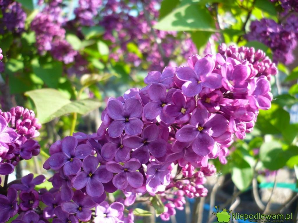 Lilak pospolity Andenken An Ludwig Spath ma kwiaty duże. Fot. Niepodlewam