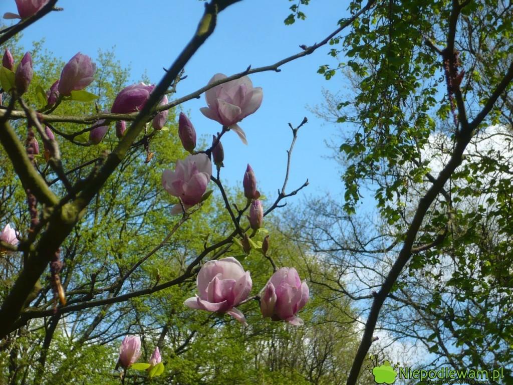 Magnolia Soulange`a Lennei na początku kwitnienia. Fot. Niepodlewam