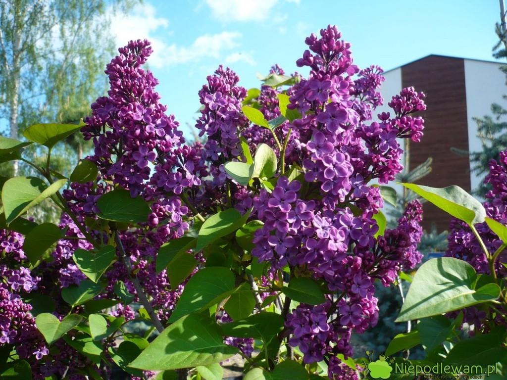Lilak pospolity Andenken An Ludwig Spath został wyhodowany w 1922 roku. Ma fioletowe, pojedyncze kwiaty, które mocno i pięknie pachną. Fot. Niepodlewam
