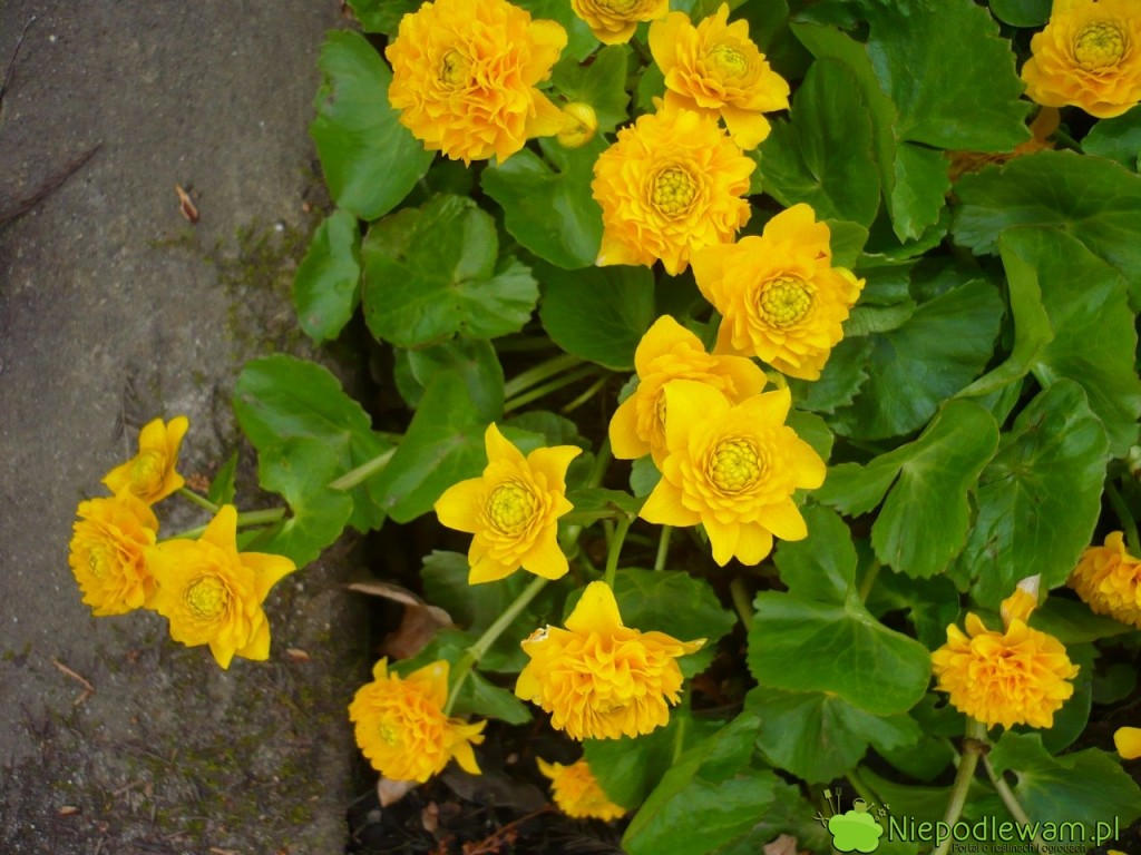 Kaczeniec najczęściej ma kwiaty żółte, pojedyncze. Na zdjęciu jest odmiana pełne Multiplex. Fot. Niepodlewam