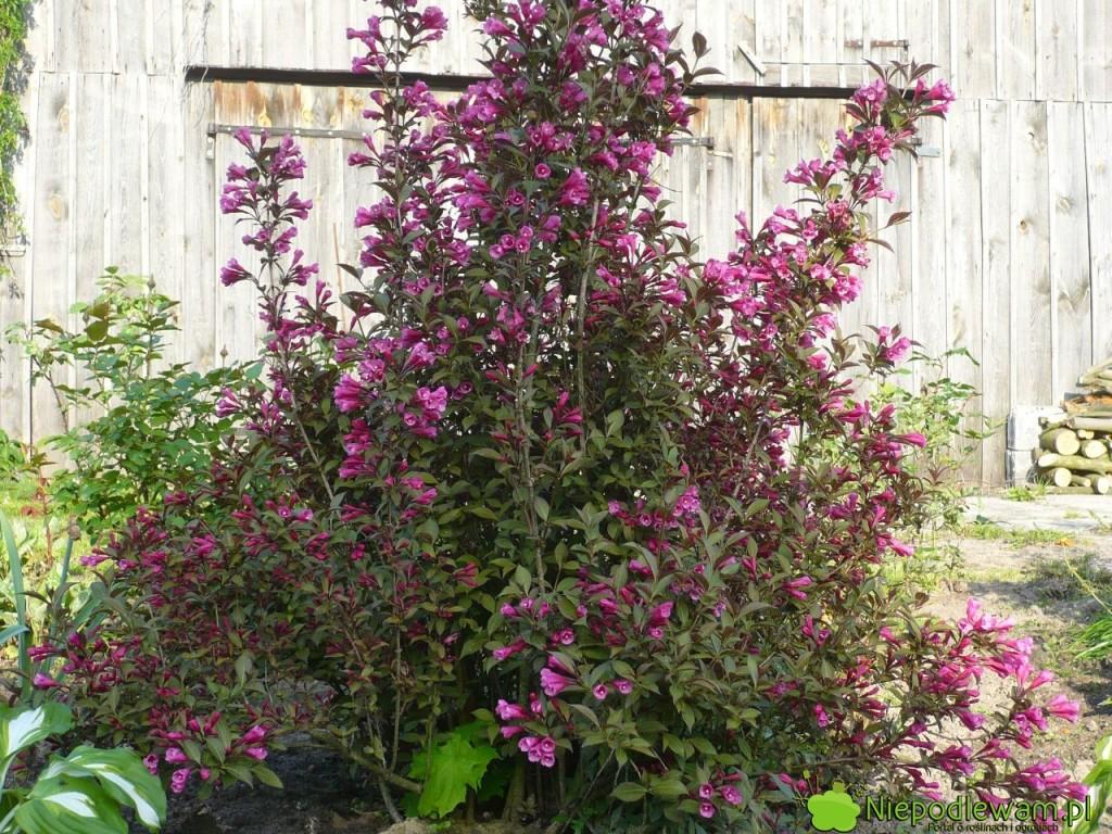 Krzewuszka cudowna jest obsypana kwiatami w maju i czerwcu (V-VI). Powtarza kwitnienie pod koniec lata lecz kwiatów jest mniej. Fot, Niepodlewam