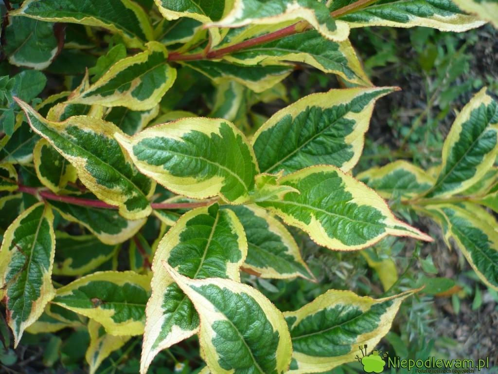 Krzewuszki o liściach pstrych często mają mniej kwiatów niż odmiany o liściach zielonych. Na zdjęciu jest odmiana Nana Variegata. Fot. Niepodlewam