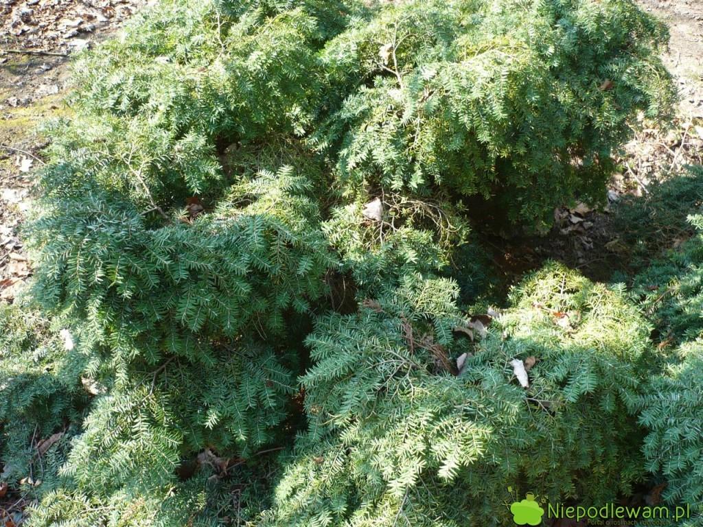 Choina kanadyjska Jeddeloh to zdrowo rosnąca odmiana. Rzadko choruje. Fot. Niepodlewam