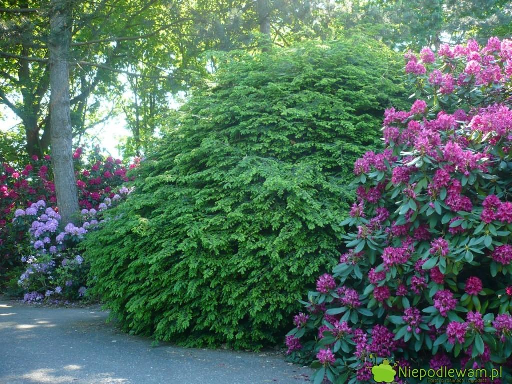 Choina kanadyjska wtowarzystwie rododendronów. Ten ookaz rośnie wOgrodzie Botanicznym wPowsinie. Fot.Niepodlewam