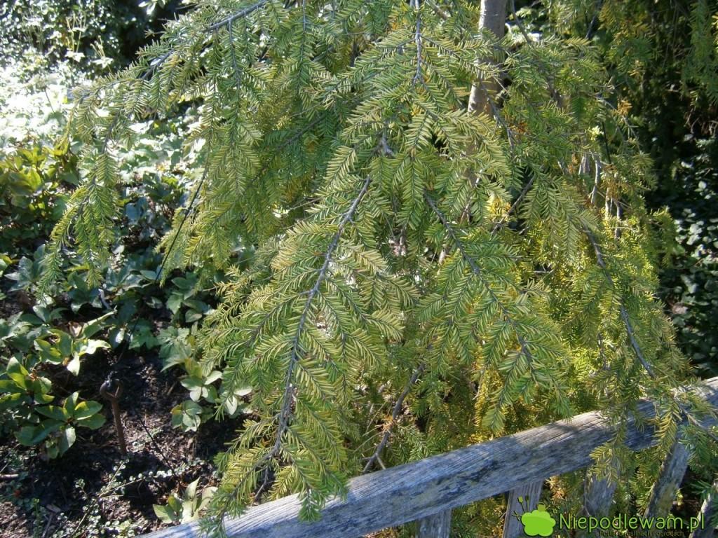 Choina kanadyjska Golden Splendor w cienistym zakątku ogrodu. Fot. Niepodlewam