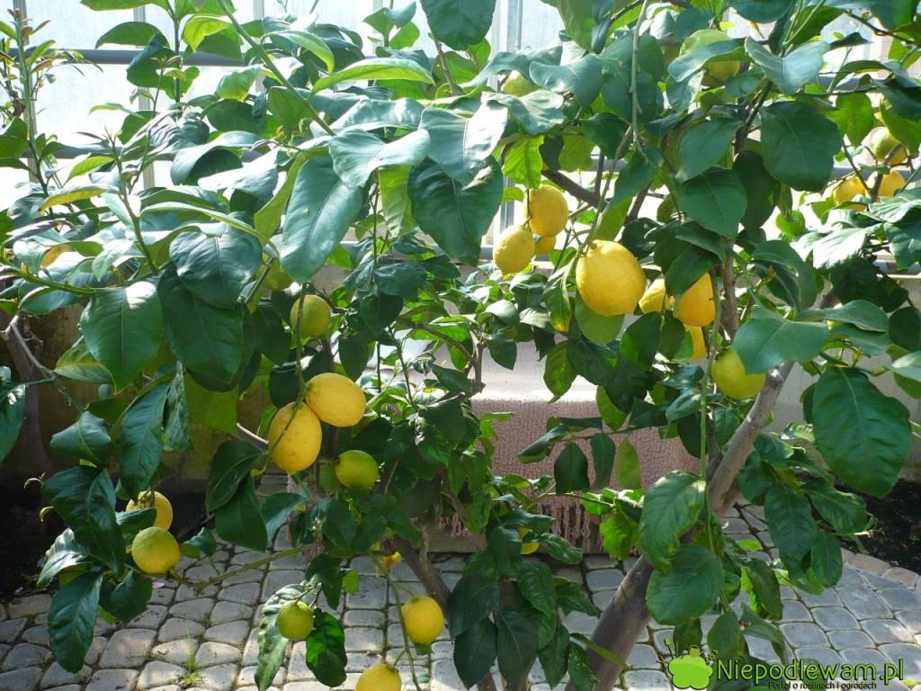 Cytryna zwyczajna Villafranca uprawiana w oranżerii. Fot. Niepodlewam