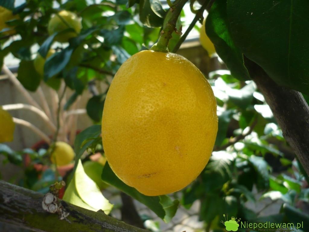 Cytryna zwyczajna Villafranca to popularna odmiana w sadach cytrynowych na południu Europy. Jej owoce można kupić w polskich sklepach. Villafranca dobrze rośnie w doniczkach. Fot. Niepodlewam