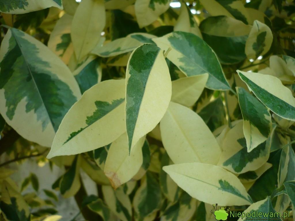Pstre liście to rzadkość wśród mandarynek. Nie są objawem choroby. Na zdjęciu jest odmiana Variegata. Fot. Niepodlewam