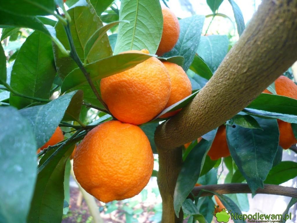 Mandarynka dobrze rośnie i owocuje w domu.  Jednak tak dużo ładnych owoców można wyhodować tylko w oranżerii. Na parapecie mandarynkom dość szybko robi się za ciasno. Fot. Niepodlewam