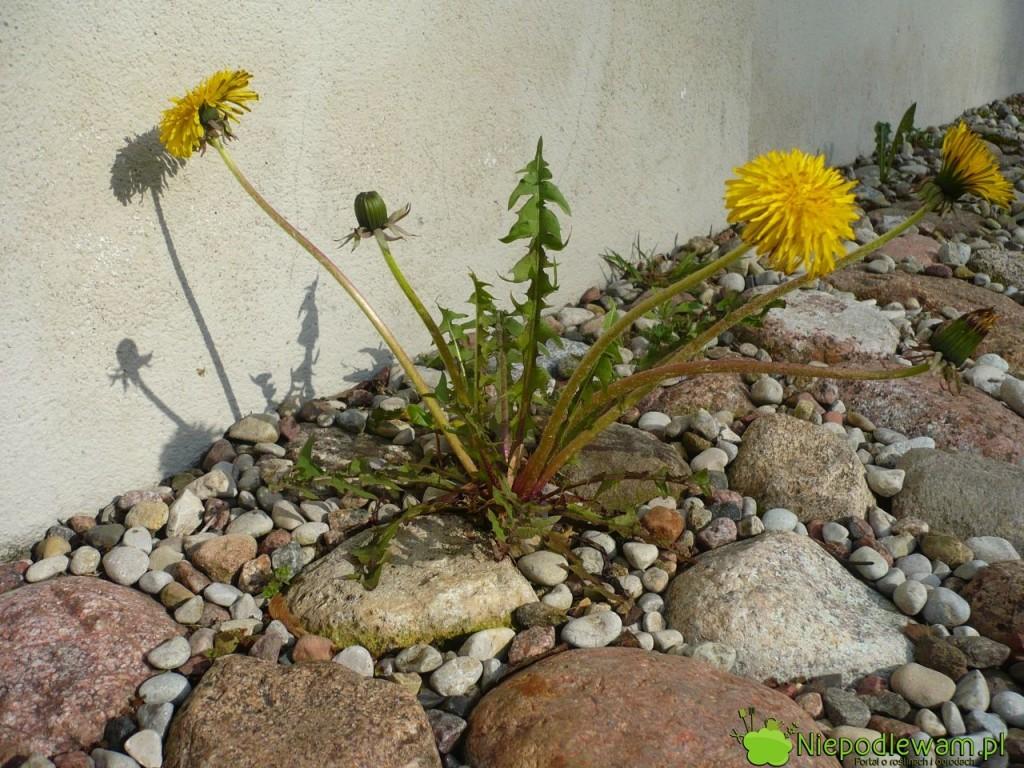 Mniszek lekarski to popularny chwast w ogrodach. Rośnie też na łąkach, w rowach, na ugorach. Fot. Niepodlewam