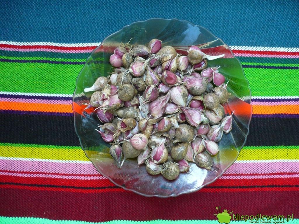 Najlepszy termin na sadzenie czosnku zimowego to wrzesień i październik. Można sadzić ząbki z własnych zbiorów przez dziesiątki lat. Ten jest przekazywany z pokolenie na pokolenie od blisko 100 lat. Fot. Niepodlewam