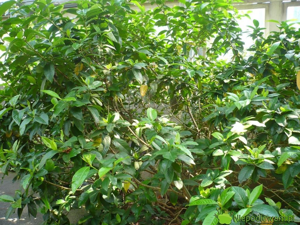 Gardenia rośnie dobrze tylko w kwaśnej ziemi. Fot. Niepodlewam