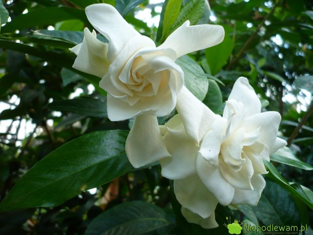 Gardenia ma zawsze kwiaty białe, pięknie i mocno pachnąc. Fot. Niepodlewam