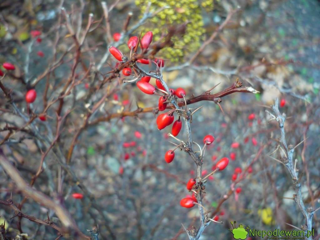 Owoce berberysu Thunberga Sunsation są czerwone ijadalne. Fot.Niepodlewam
