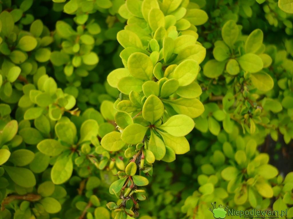 Młode liście berberysów Sunsation są bardziej żółte niż starsze. Fot. Niepodlewam