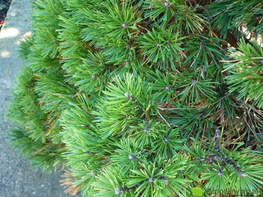 Kosodrzewina jest gęsta iciemnozielone, jeśli rośnie wsłonecznym miejscu. Fot.Niepodlewam
