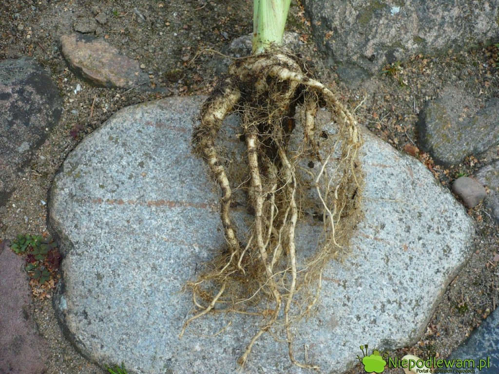 Rozwidlone korzenie pasternaku tomniejszy plon. Fot.Niepodlewam