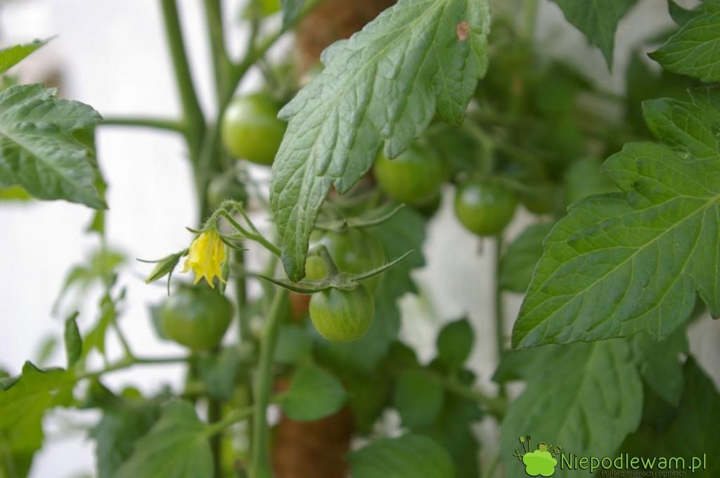 Kwiat pomidora Black Cherry. Fot.Niepodlewam