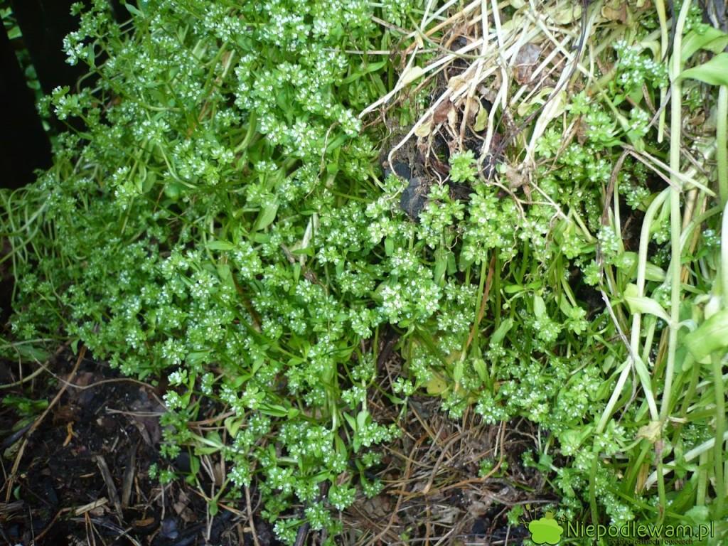 Roszponki z zawiązanymi nasionami lepiej nie wyrzucać na kompost. Nasiona przetrwają i zachwaszczą ogród po rozrzuceniu kompostu. Fot. Niepodlewam