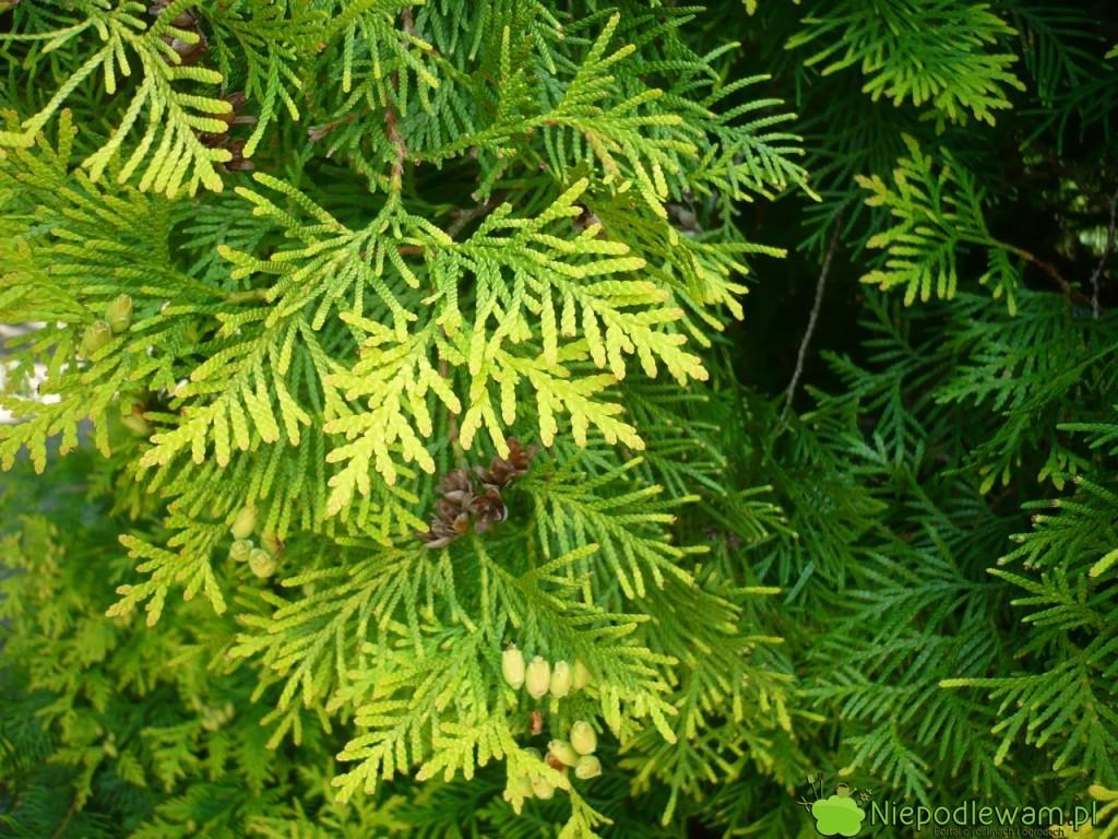 Tuja zachodnia Aurescens ma . Fot. Niepodlewam