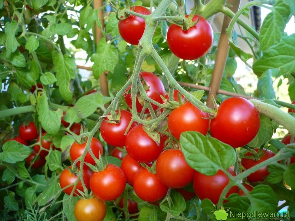 Pomidor Pokusa toodmiana koktajlowa, wysoka. Owoców jest bardzo dużo. Fot.Niepodlewam
