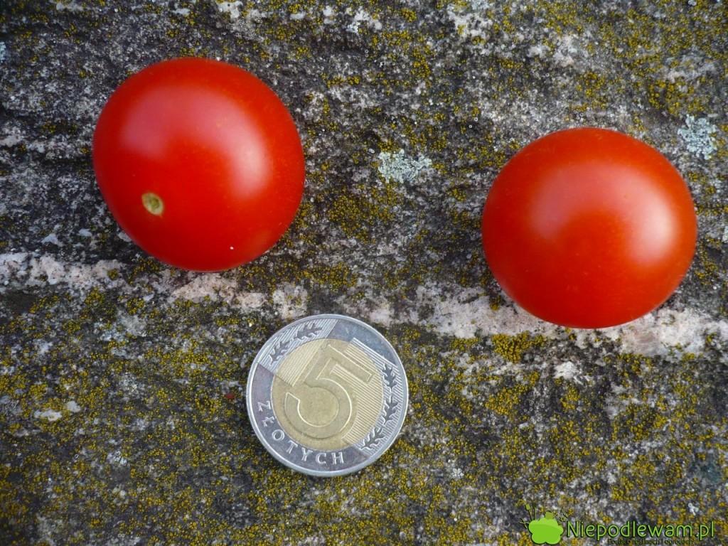 Pomidory Pokusa są wielkości monety. Fot.Niepodlewam