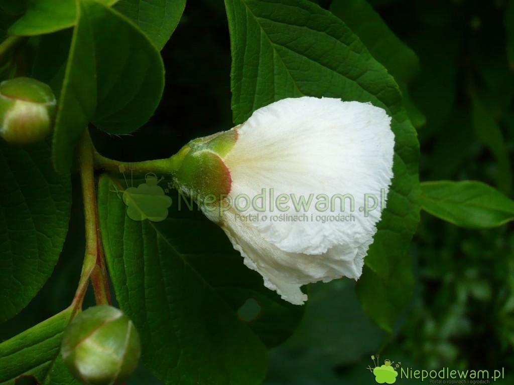 Z boku kwiat stewarcji bardzo przypomina kamelię. Fot.Niepodlewam