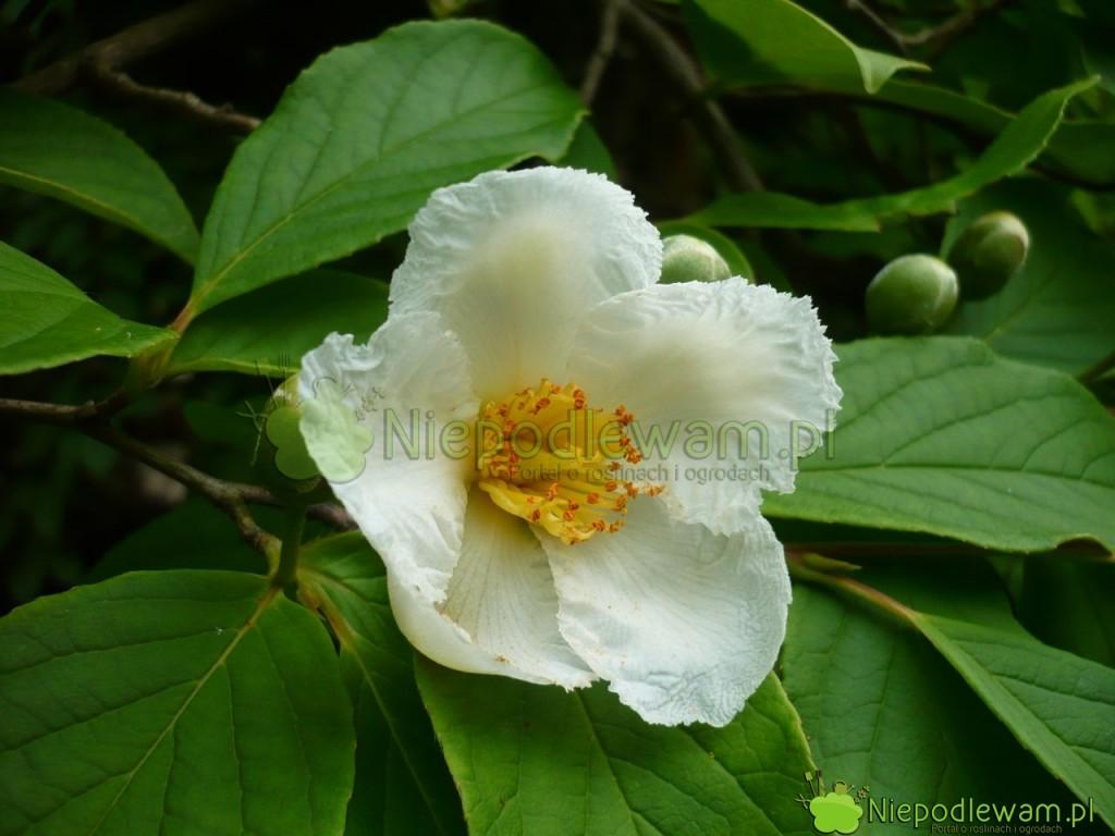 Stewarcja nibykamelia ma kwiaty bardzo podobne do herbaty chińskiej. Delikatnie pachną. Fot. Niepodlewam
