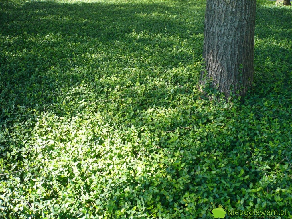 Barwinek pospolity dobrze rośnie wsłońcu, półcieniu icieniu. Nabardzo słonecznych stanowiskach lepiej sadzić odmiany opstrych liściach, awcieniu - zielonych. Fot.Niepodlewam
