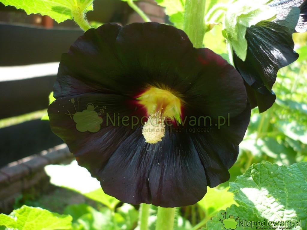 Malwa czarna Nigra ma kwiaty tak ciemne, jak nocne niebo. Jedynie w słońcu czerń jest w delikatnym odcieniu burgunda. Fot. Niepodlewam