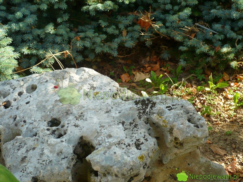 Pojedyncze kamienie pełnią często rolę rzeźb wogrodzie. Fot.Niepodlewam