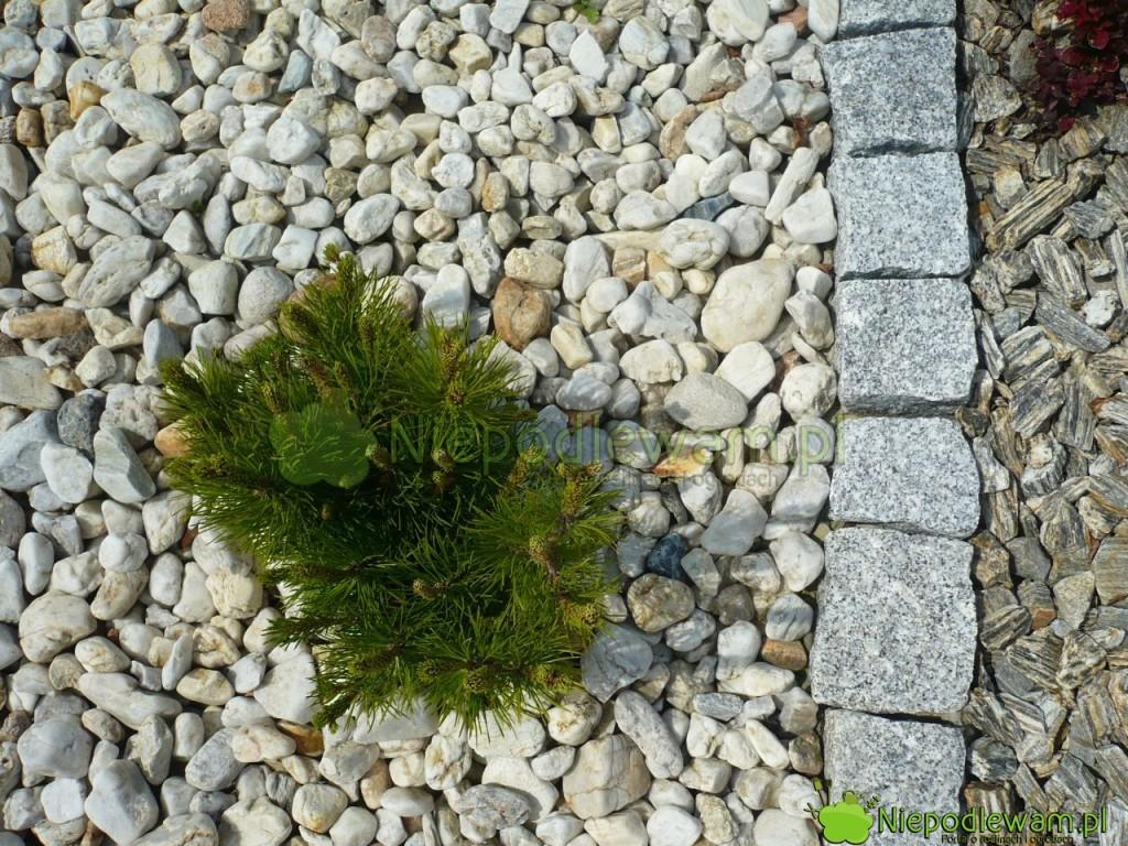 Odczyn kamieni jest różny. Niektóre rośliny są tak tolerancyjne, że nie ma znaczenia, jakich kamieni się użyje do dekoracji. Do nich należy np. kosodrzewina. Fot. Niepodlewam
