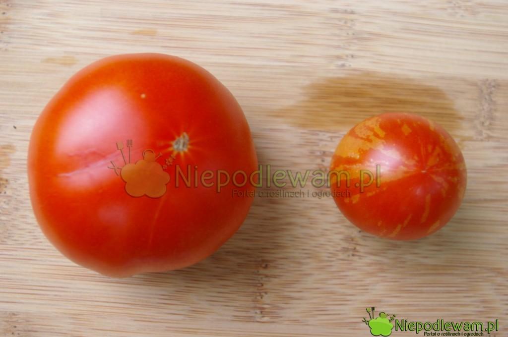 Porównanie wielkości pomidorów: większy to Malinowy Olbrzym, a mniejszy - Tigerella. Fot. Niepodlewam