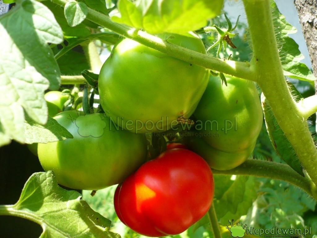 W gronach jest zwykle po 2-4 pomidory Malinowy Olbrzym. Fot. Niepodlewam
