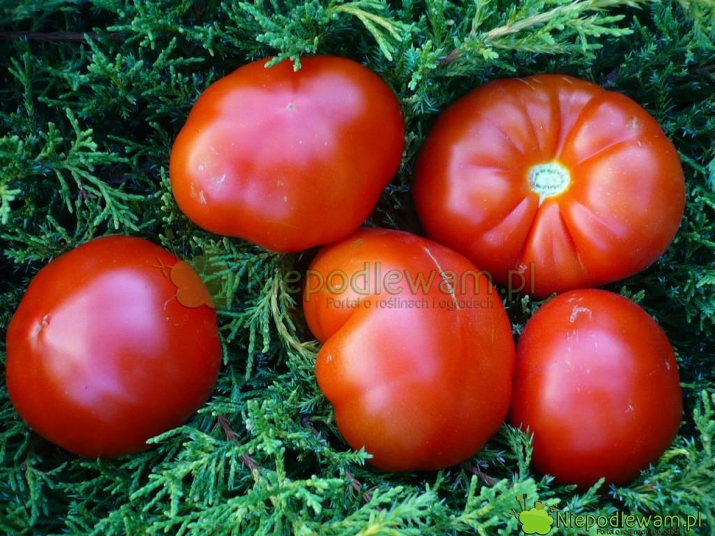 Pomidor Malinowy Olbrzym ma owoce duże i mięsiste, w typie klasycznych malinówek. Fot. Niepodlewam