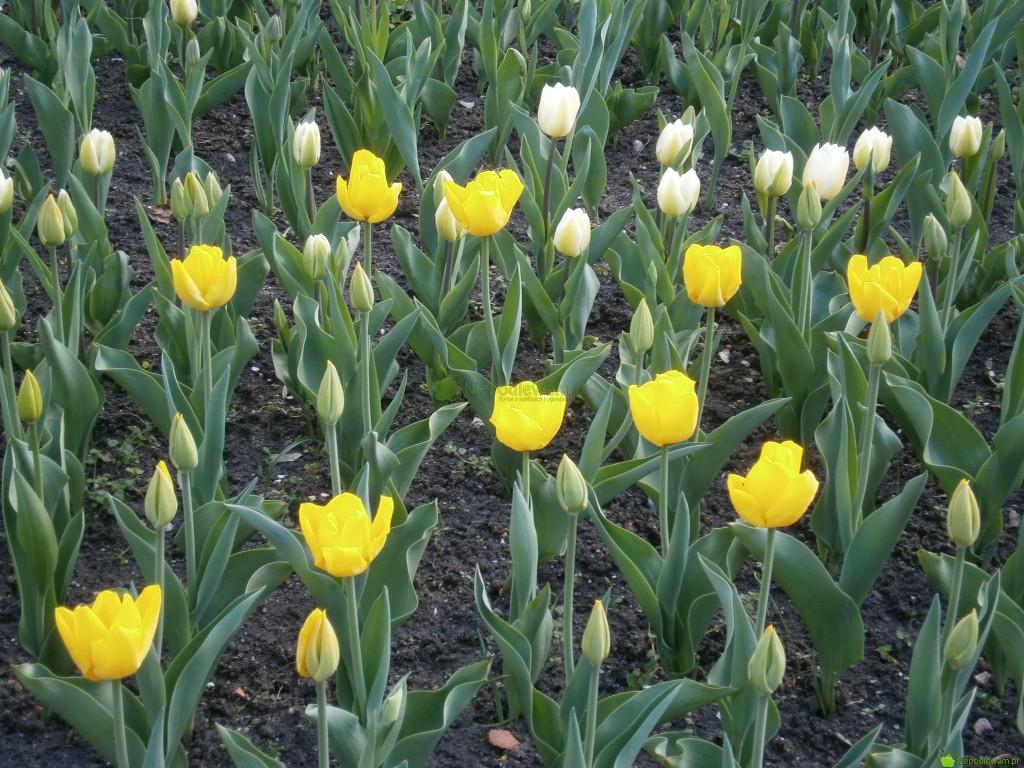 Tulipany Kikomachi można zestawiać np.zodmianami białym. Nazdjęciu są żółte tulipany Kilkomachi orazbiałe tulipany White Marvel. Fot.Niepodlewam